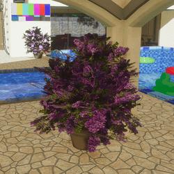 Lilac Bush in Planter