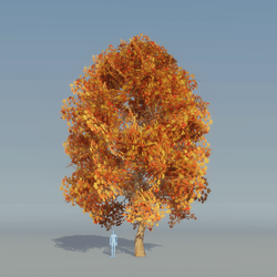 Maple Tree Autumn B 1