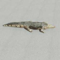 Animals - Crocodile