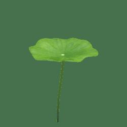 lotus leaf 1