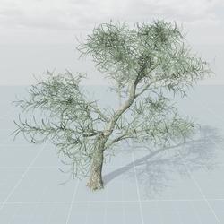 Senegalia Tree