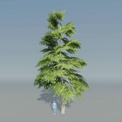Fir Tree 5