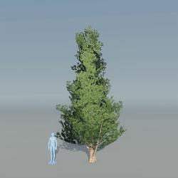 Juniper Tree 3