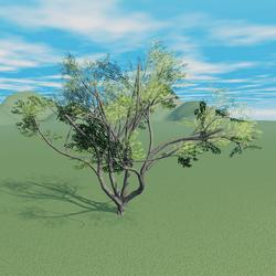 Acacia Tree 1