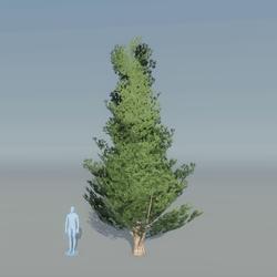 Juniper Tree 2