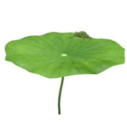 lotus leaf with frog