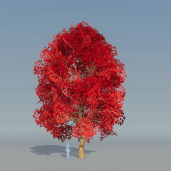 Maple Tree Red 1