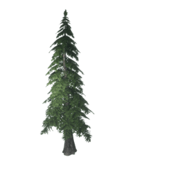Forest Pine x