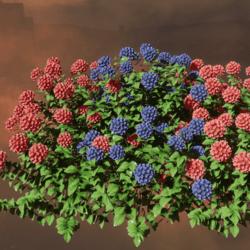 FLEURS  Hydrangea