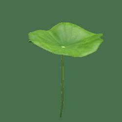 lotus leaf 2