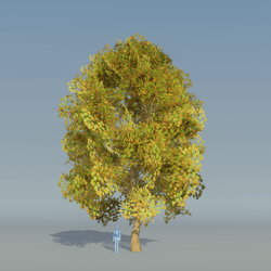 Maple Tree Autumn 1