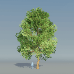 Maple Tree Green 2