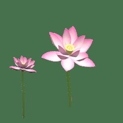 lotus flower 4