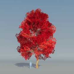 Maple Tree red 2