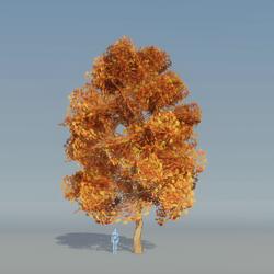 Maple Tree autumn B 3