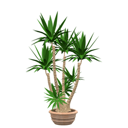 potted yucca palm