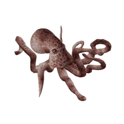 Coral Riff Octopus