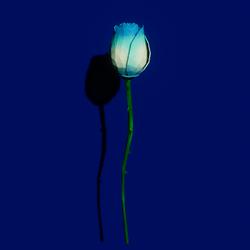 Blue  rose single