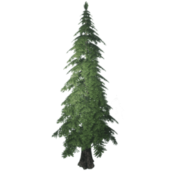 Forest Pine 1