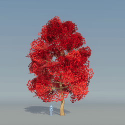 Maple Tree Red 3