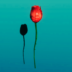 Red rose single