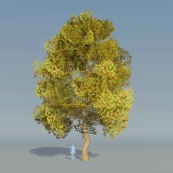 Maple Tree Autumn 5