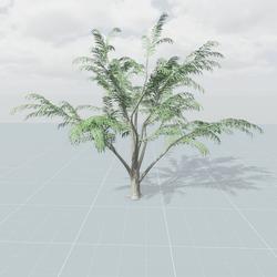 Albizia Tree 1