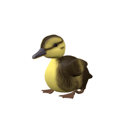 Duckling - male