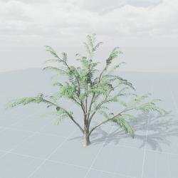Albizia Tree 2