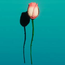 Pink rose single